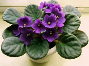 violeta_africana-braila portal